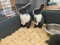 Baby Rabbits for sale!!
