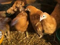 Hens in Scotland | Birds for Sale - Gumtree