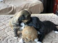 Gorgeous Shih Tzu x puppy for sale