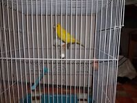 Beautiful Canary for sale with cage