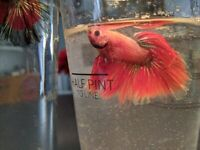 FIGHTER FISH MALE FOR SALE IN CARDIFF