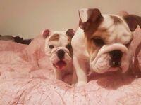 Two Adorable English Bulldog puppy boys