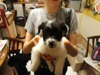 Male Jack Russell, patterjack cross puppies