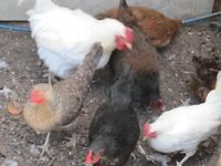 FOR SALE :) 2 groups of chickens