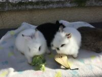 Beautiful dwarf/lionhead baby rabbits