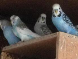 Budgies/canaries for sale , (only 4 budgies left )