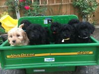 (💖F1 COCKAPOO PUPPIES READY TO LEAVE💖)