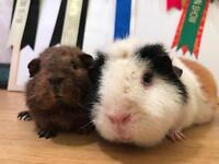 Two gorgeous female guinea pigs for sale