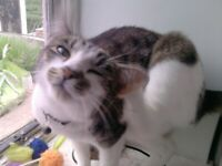 Tabby and White Cat Missing :(