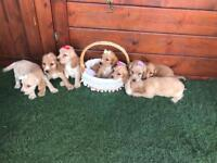 Show type cocker spaniel puppies