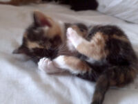2 tortie female kittens