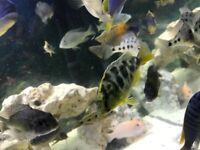 Malawi cichlids and fry for sale