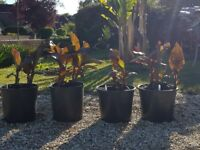 Canna Chocolate Sunrise exotic plants