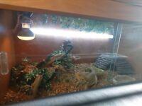 Bearded dragon and viv