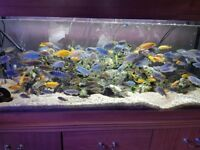 Colourful Malawi Cichlids Various Types £1.50 to £12