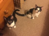 Maine Coon Black and White Cross Kittens - 2 Boys!
