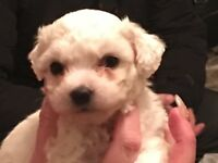 4 male Bichon Frise pups