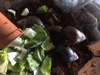 African Land Snail Tank with snails
