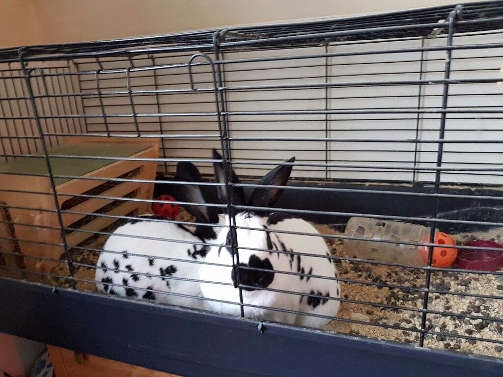 2 rabbits and indoor cage