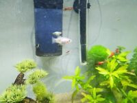 Guppy and Platy Fry (2 months)