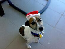 Jack Russell - Free to a good home West Perth Perth City Preview