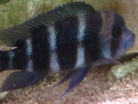Frontosa Cichlid (Humphead Cichlid). Medium size. Beautiful fish (group of 4)