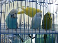 young Budgies (Budgerigars) for sale