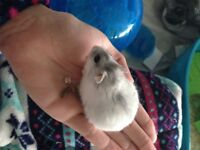 White snow dwarf hamster and All accessories