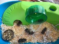 Dwarf baby hamsters