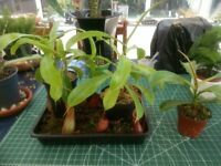 Carnivorous Nepenthes Plants X Ventrata and X1 Bloody Mary