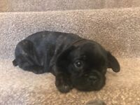 French Bulldog puppy kc reg ready to leave 25/7