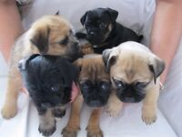 Jug Puppies ready to be seen