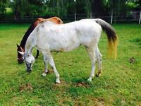 Bombproof 11 year old quarter horse mare