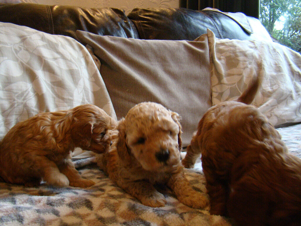 Cockapoo puppies toy F1b | in Oswaldtwistle, Lancashire | Gumtree