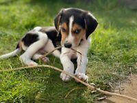 Beagle male puppy