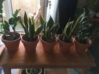 Plants in terracotta pots (3 mother in laws tongue / sansevieria and 2 zizi emerald palm)