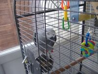 2 x african grey parrots and cages