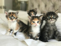 One Left!! Gorgeous Maine Coon X British Kittens!