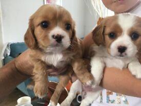 Cavatzu puppies for sale