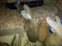 Giant Continental rabbits £75