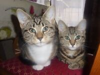 Missing Tabby Cat from Colehill