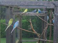 young budgies for sale aviary reared male@ female