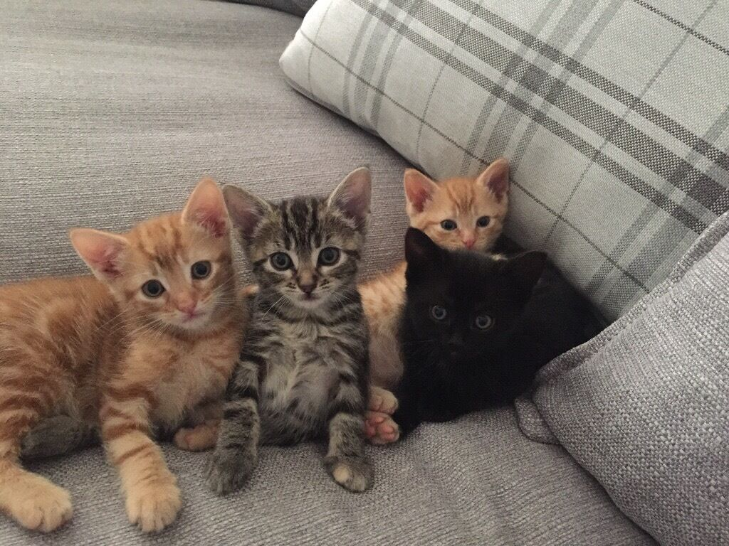 Four Kittens for Sale e grey tabby two ginger and one black