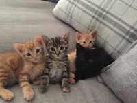 Four Kittens for Sale - One grey tabby, two ginger and one black
