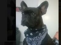 French bulldog X