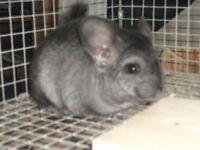 grey male or female chinchilla for sale.
