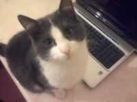 Missing GREY and WHITE MALE CAT with GREEN EYES