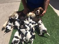 springer spaniel puppies boys