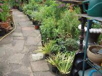 Variouse Garden Plants (all come up every year) In Large Pots