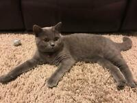 BLUE BRITISH SHORTHAIR 4 MONTHS OLD FEMALE FOR SALE